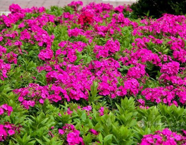 How Long Do Garden Phlox Bloom?