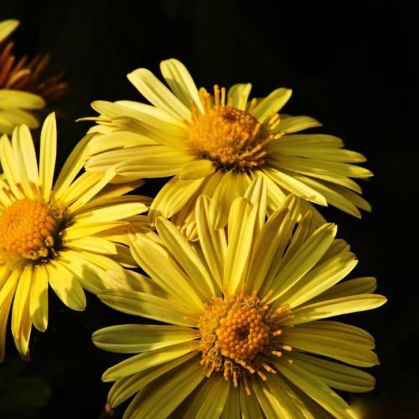 菊花的繁殖方法有几种|常用扦插、分株