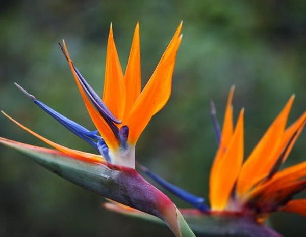 About Birds Of Paradise