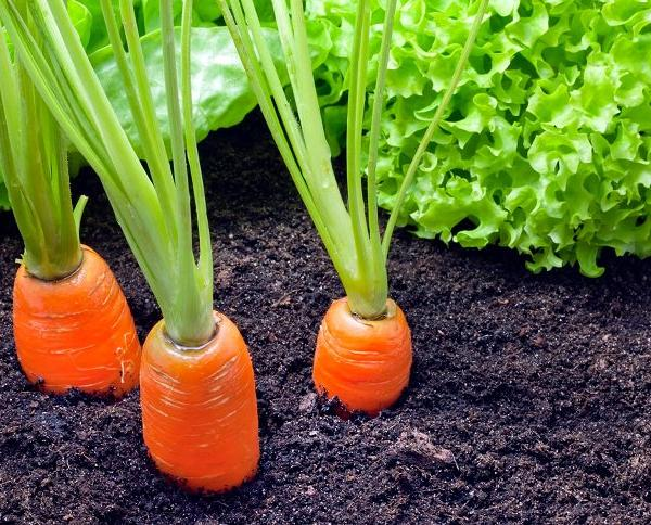 Carrot Companion Planting | Companion plants for Carrots