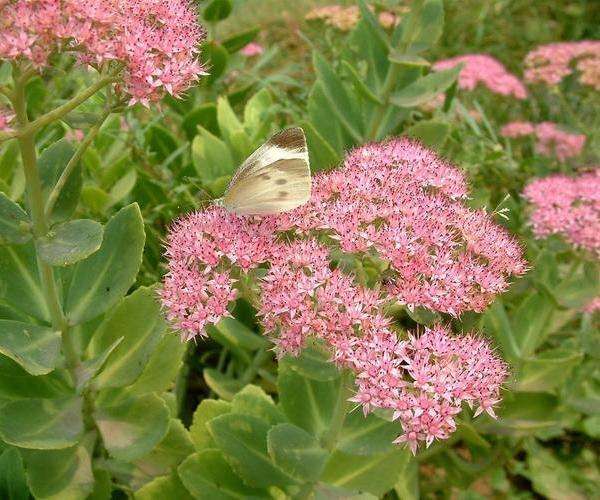 How to Propagate 'Autumn Joy' Sedum