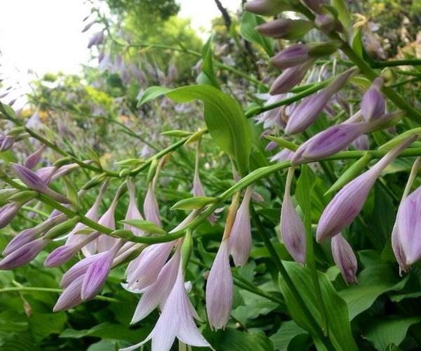 How to Plant Hosta Bulbs