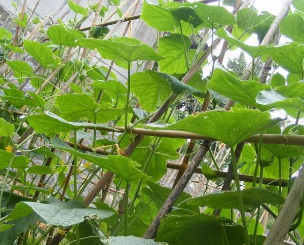 How to Grow Cucumbers on a Trellis
