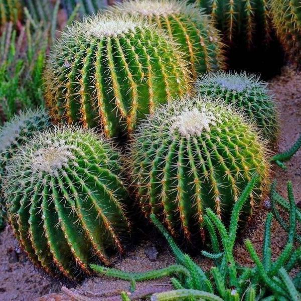 多肉植物仙人掌科植物的室内栽培技术