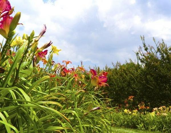 Should I Cut Back Daylilies?