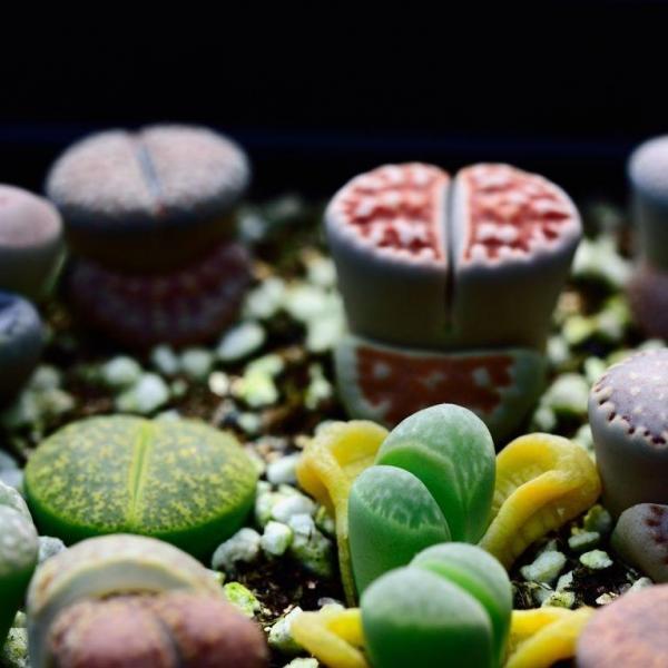 生石花用什么土最好(土壤的透气性很重要)