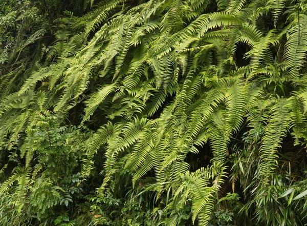 How to Grow Resurrection Ferns