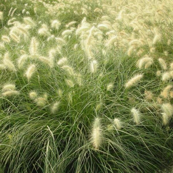 The Best Time of Year to Split and Transplant Ornamental Grass
