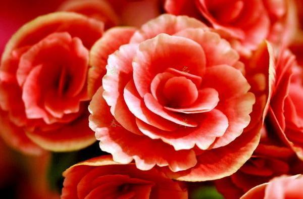 How to Care for an Amstel Begonia