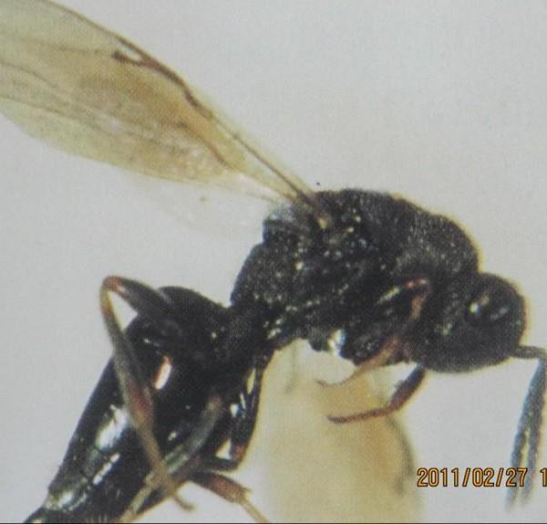 果树类虫害:桃仁蜂