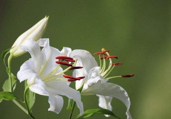 Do I Have to Deadhead Lilies?