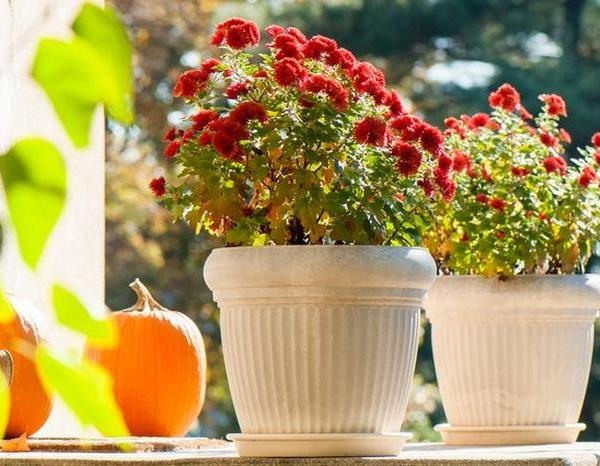 How to Overwinter Mums in Pots