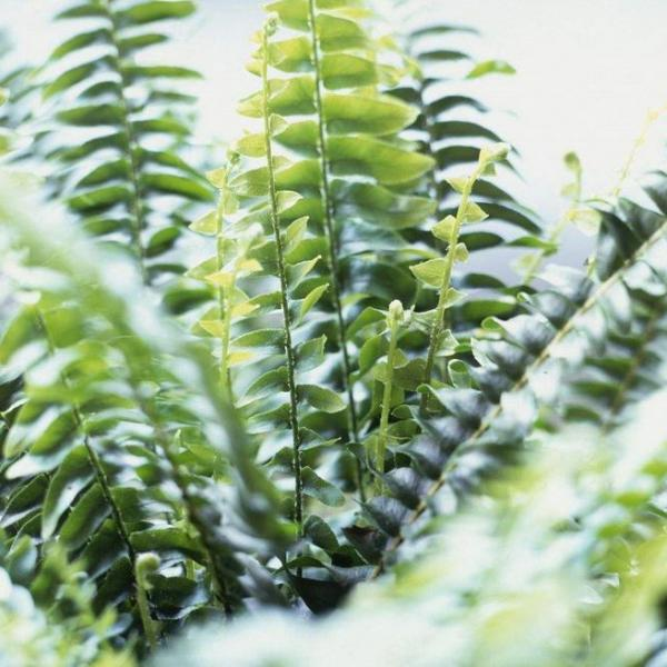 How to Care for Boston Ferns Outdoors