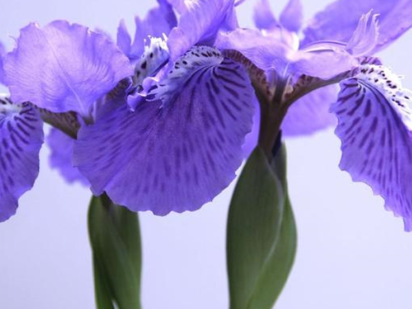 How To Grow  Iris