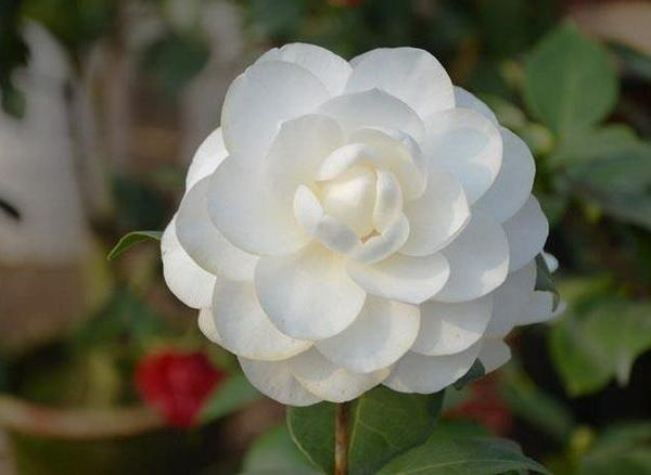 When Do Camellias Bloom?