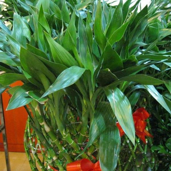 李大哥养富贵竹从来不买营养液,就用这2种水,枝条窜的拦不住!