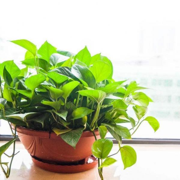 水培绿萝怎么养长得快