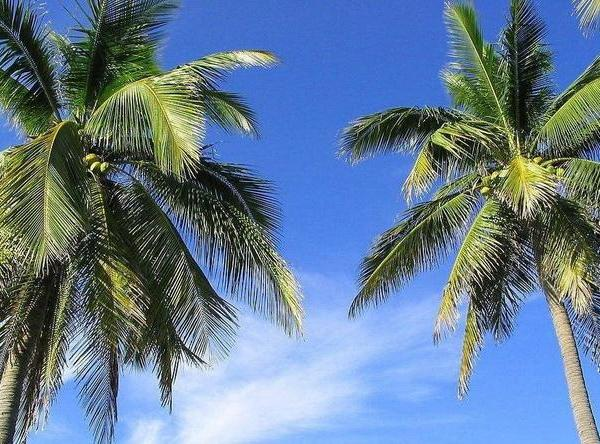 How to Harvest Sago Palm Babies
