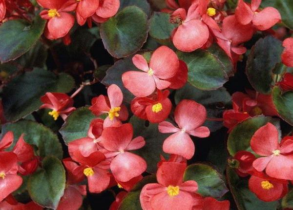 How to Care for Hanging Begonias