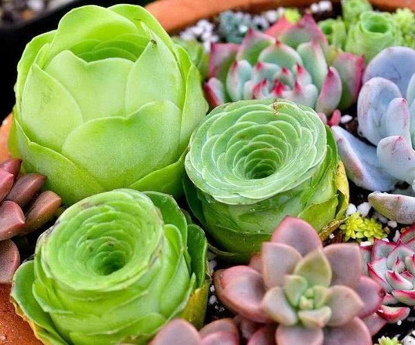 多肉植物也能表达爱意