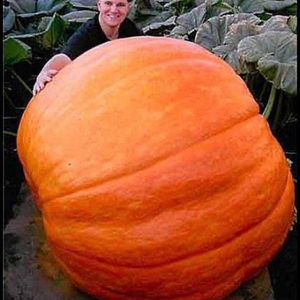 How to Grow a Giant Pumpkin