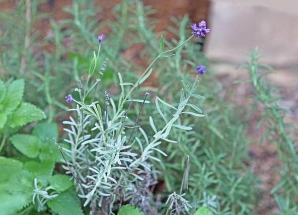 How & When to Prune Lavender Plants