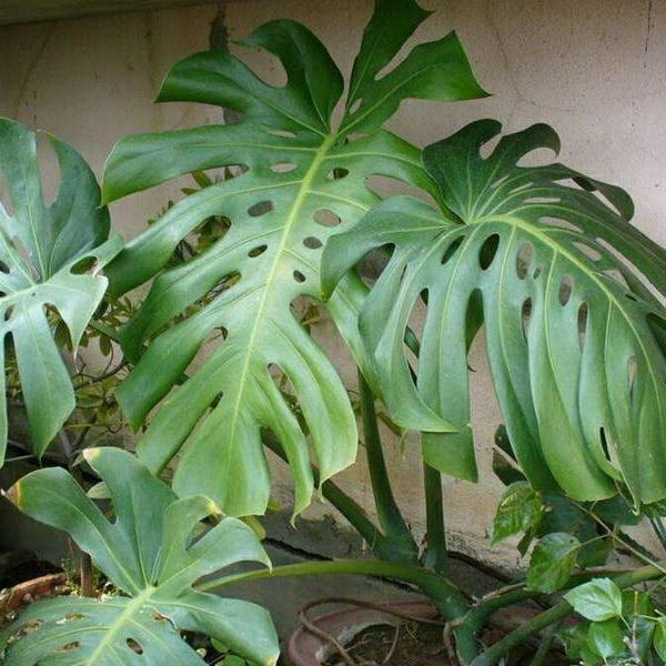龟背竹繁殖方法