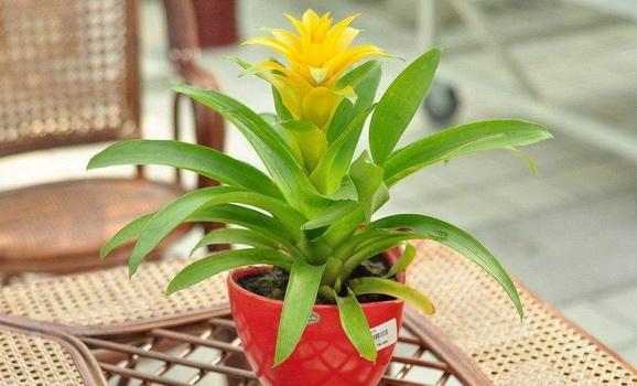 How to Care for an 'Orange Star' Plant