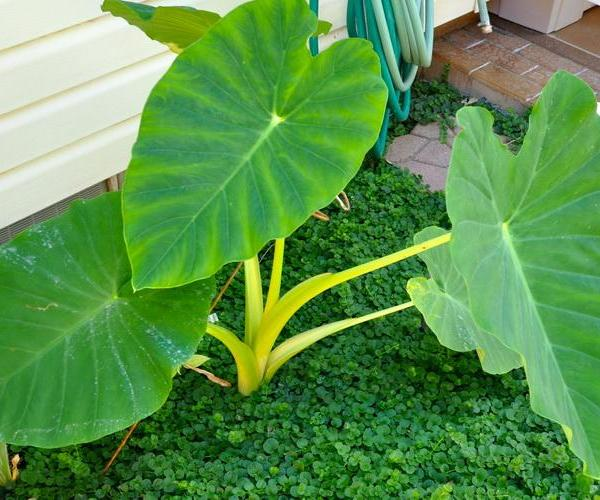 How to Care for Giant Elephant Ears in Winter