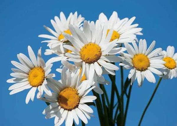 November Lucky Flower--Bellis Perennis