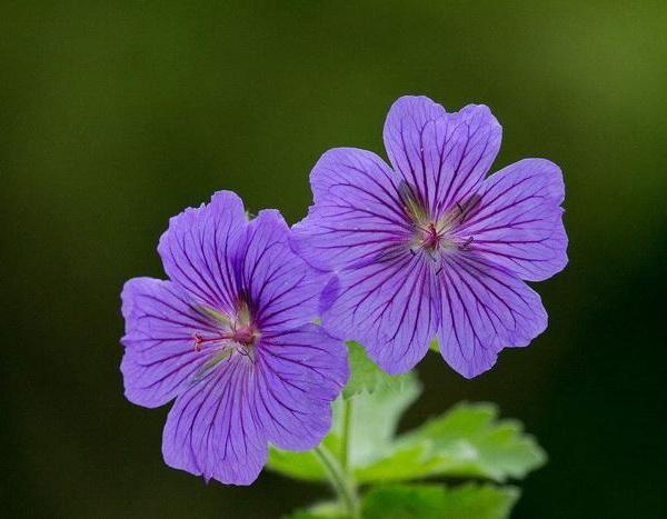 Should I Cut Back My Wild Geranium After They Have Bloomed?