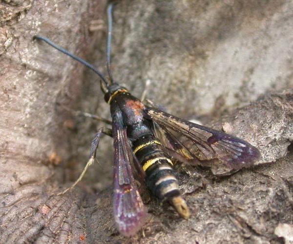 果树类虫害:海棠透翅蛾