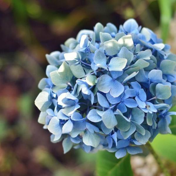 How to Split Hydrangea Plants