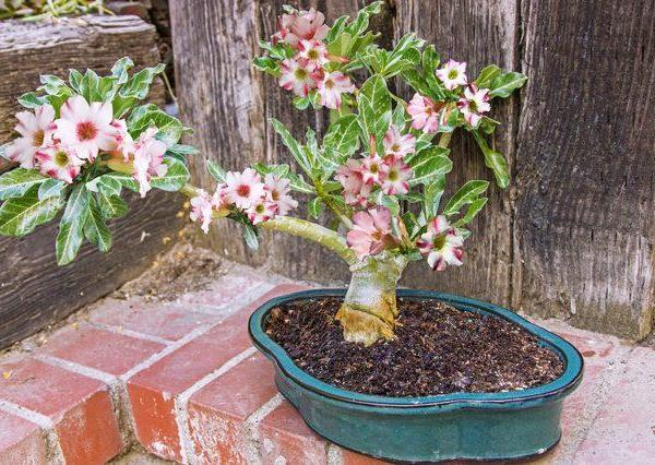 How to Grow Adenium Obesum