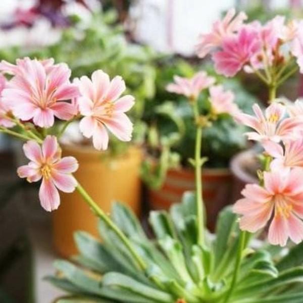 这种植物一年开花300天!扔土里就活!