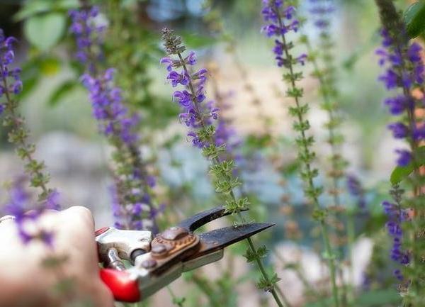 How to Prune Salvia