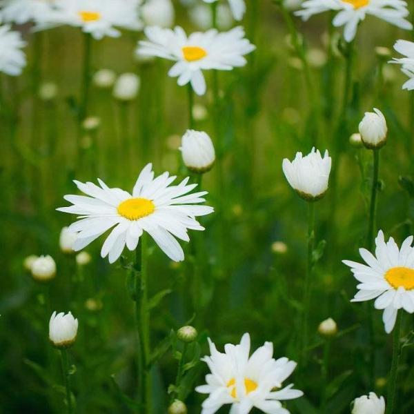 How to Divide Shasta Daisy Plants