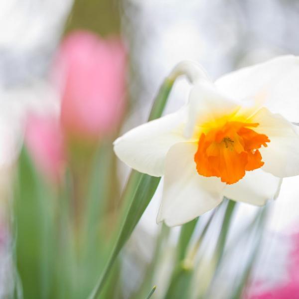 Capricorn × Daffodil