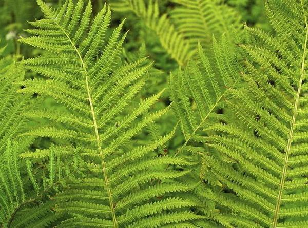 Do Ferns Need to Be Pruned?
