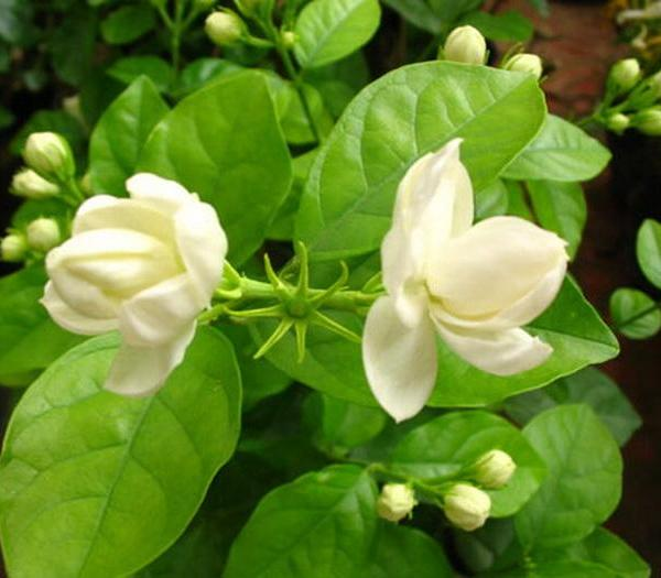 The Best Time to Plant a Jasmine in Texas