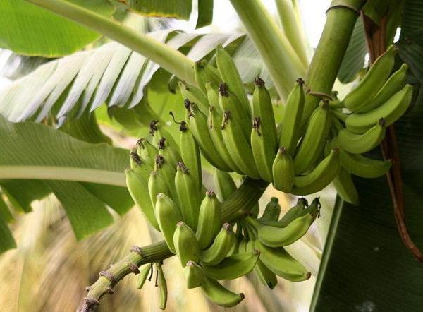 Uses of the Banana Plant
