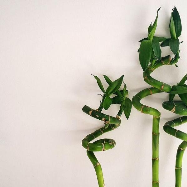 水养富贵竹叶子发黄怎么办