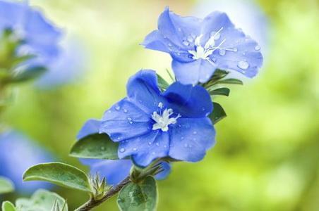 Care of 'Blue Daze' Flowers