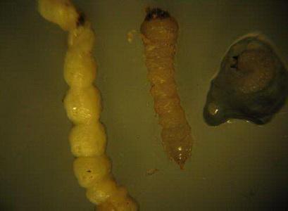 果树类虫害:柑橘爆皮虫