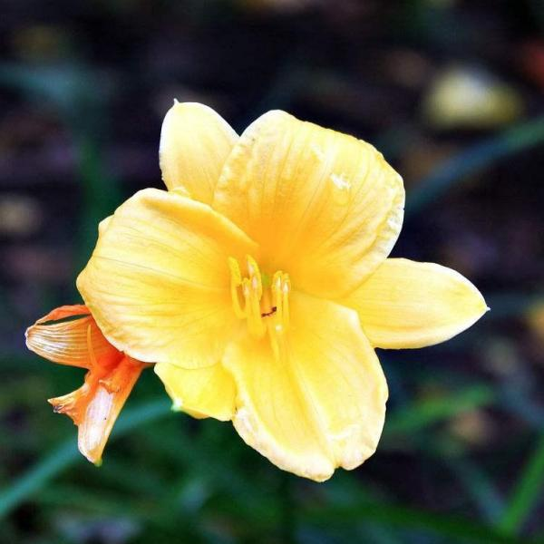 How to Plant Stella de Oro Daylilies