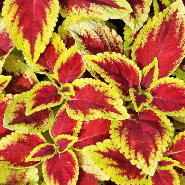 Are Coleus Plants Perennial Flowers?