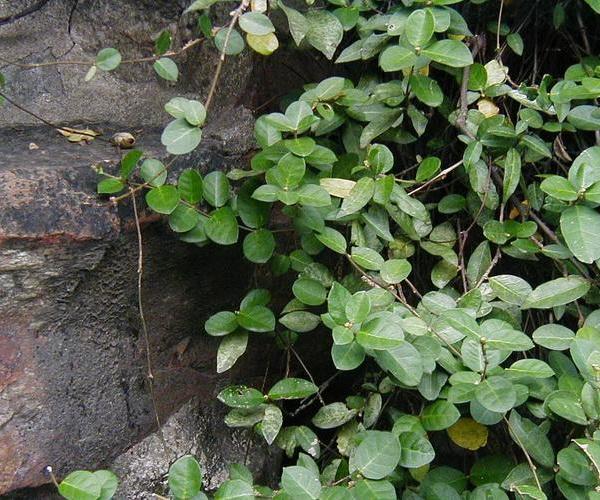 络石种植栽培技术