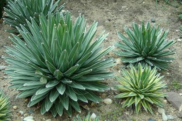 如何种植栽培龙舌兰科的多肉植物?