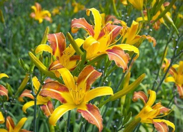 Why Day Lilies Don't Bloom