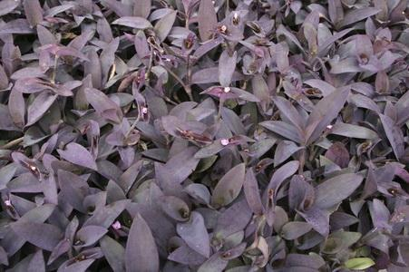 How to Take Care of Purple Heart Plants